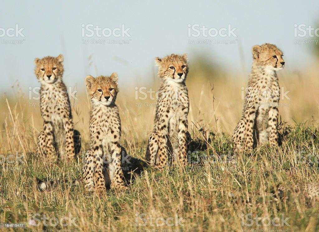 Four cheetah cubs stock photo