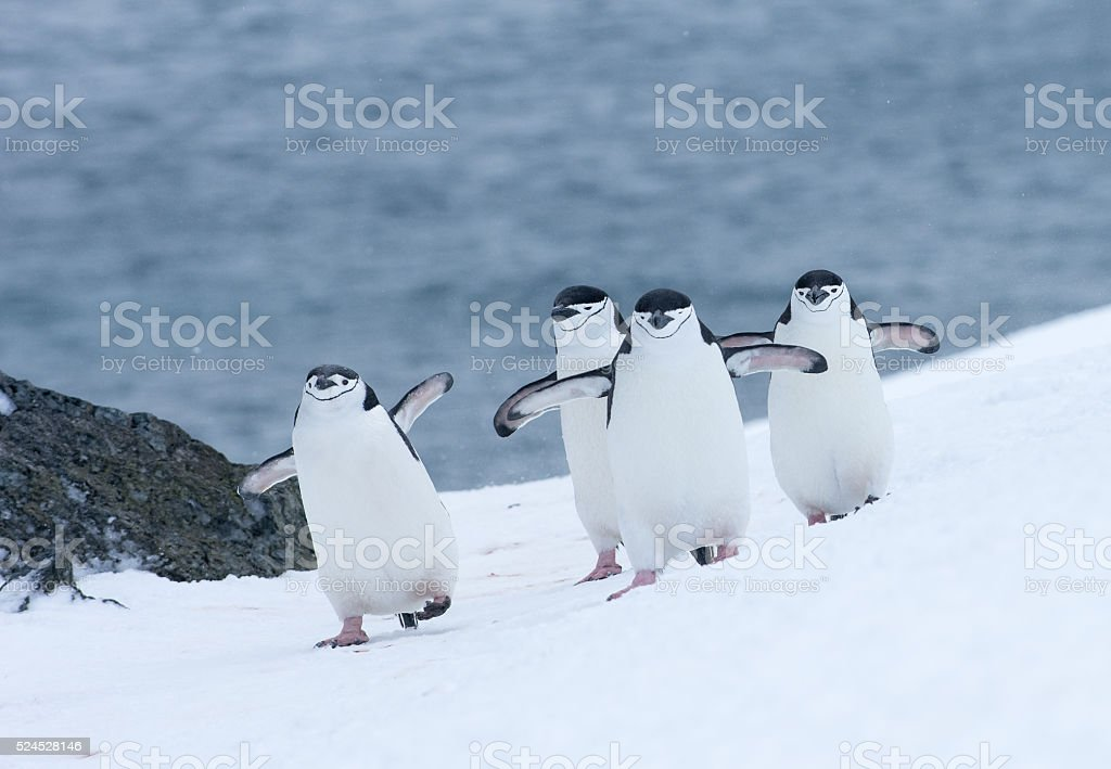 Four Chinstrap penguins walking in snow in Antarticta stock photo