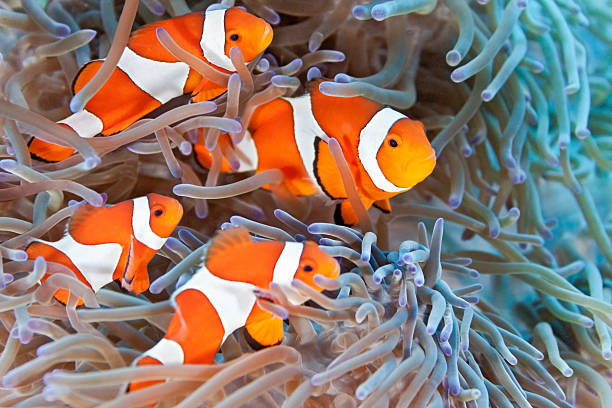 Four clownfish in an anemone underwater Clownfish on the anemone soft coral anemonefish stock pictures, royalty-free photos & images
