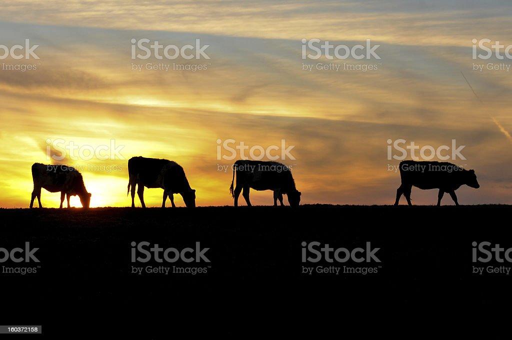 Vier Kühe sind sihouetted von den Sonnenuntergang auf einem Hügel – Foto