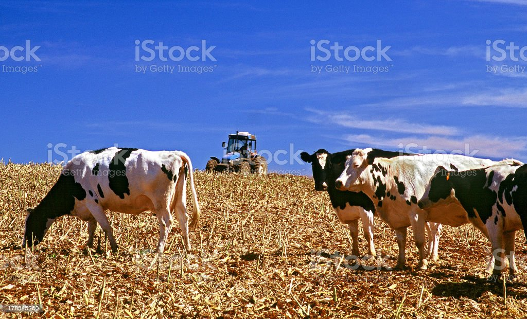 Four Cows royalty-free stock photo