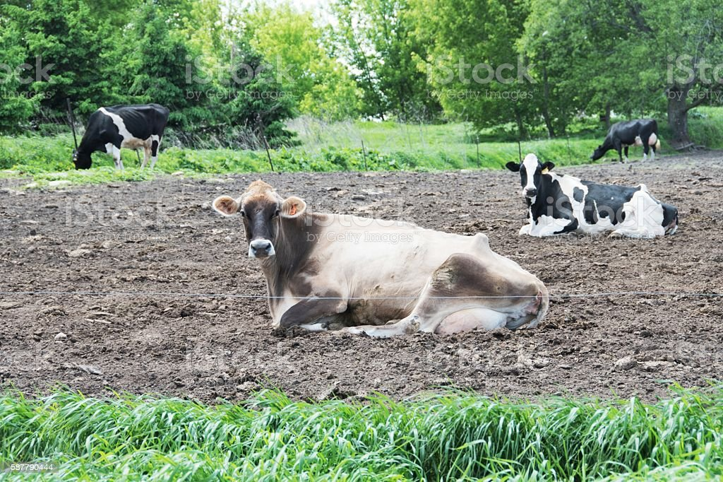Four Cows stock photo
