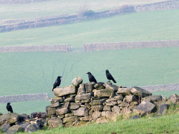 Four crows perched on an old stone wall in a field with green and picture id1133568975?b=1&k=6&m=1133568975&s=612x612&w=0&h=yfq7lmzeuphg7113lmww uezmdl6bnnm9 n1hq c rg=
