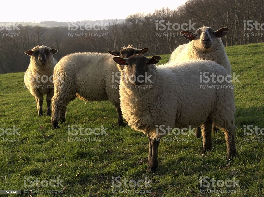 Four Curious sheep royalty-free stock photo