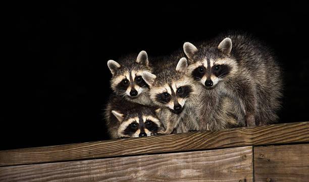 Quatre bébés des ratons laveurs, sur une terrasse rambarde - Photo