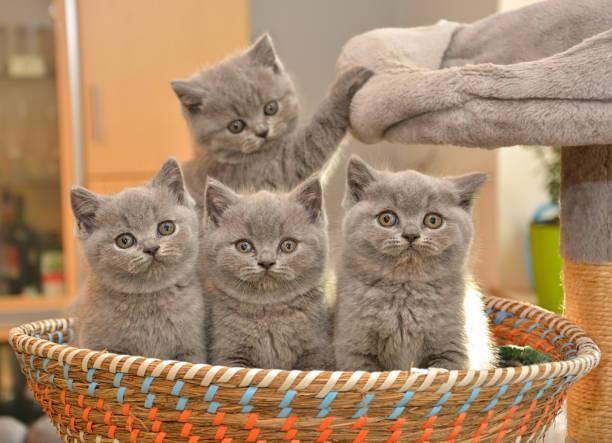 vier niedliche british blau kätzchen sitzen in einem korb. schauen sie sich die kamera. - kurze haare flechten stock-fotos und bilder