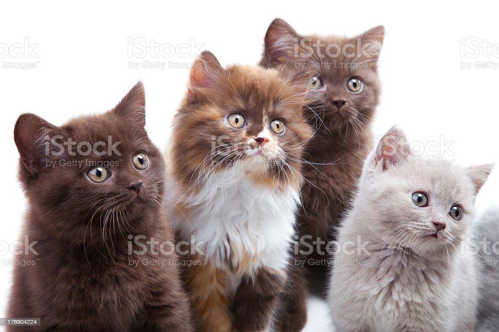 Four cute brititsh kittens royalty-free stock photo