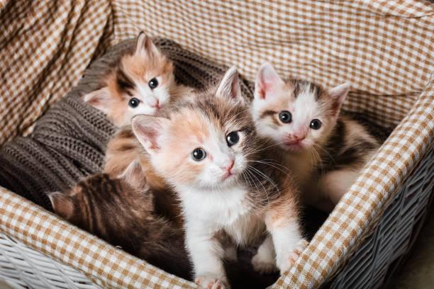 Four cute kitten in a white basket picture id912443616?b=1&k=6&m=912443616&s=612x612&w=0&h=5lqvlfdeche zpw2vwii5cfgoezqgcvarlexjfx ciu=