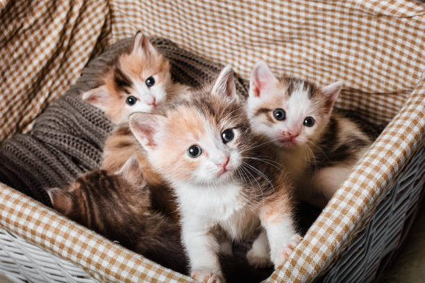 four cute kitten in a white basket - котёнок стоковые фото и изображения