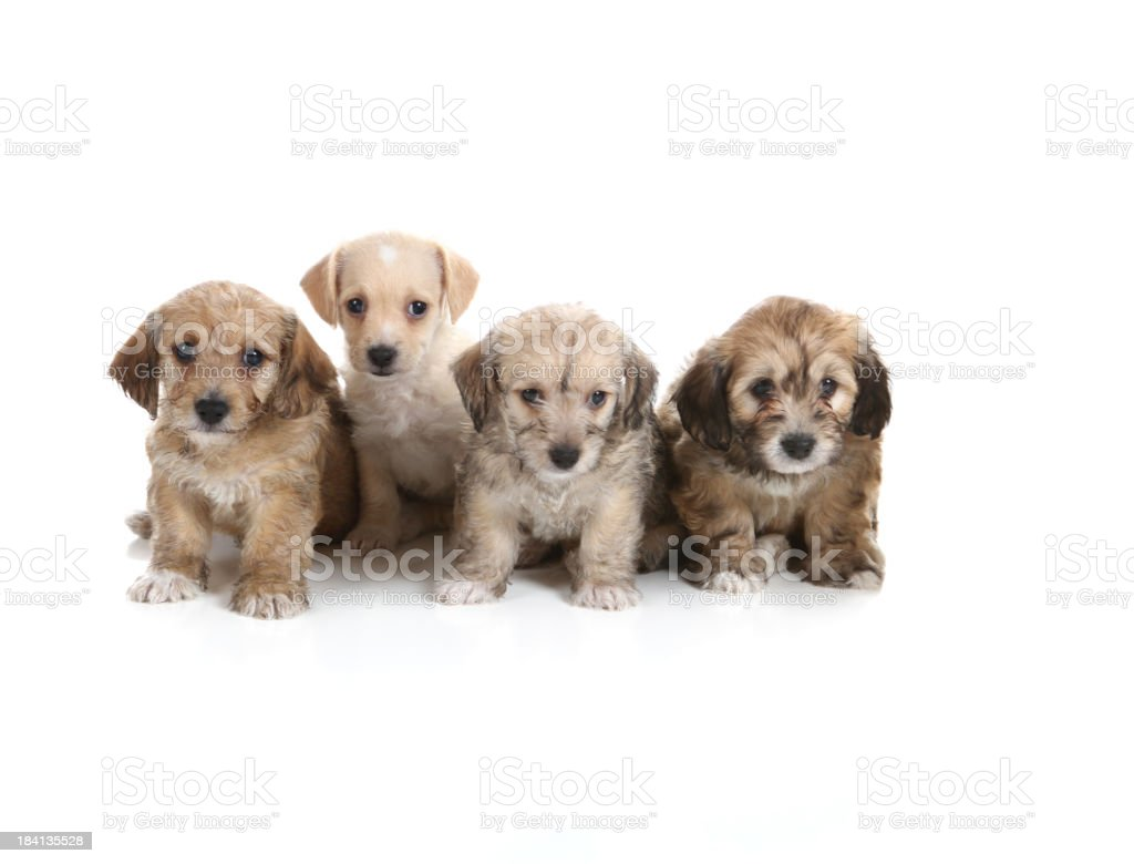 Four Cute Puppies royalty-free stock photo