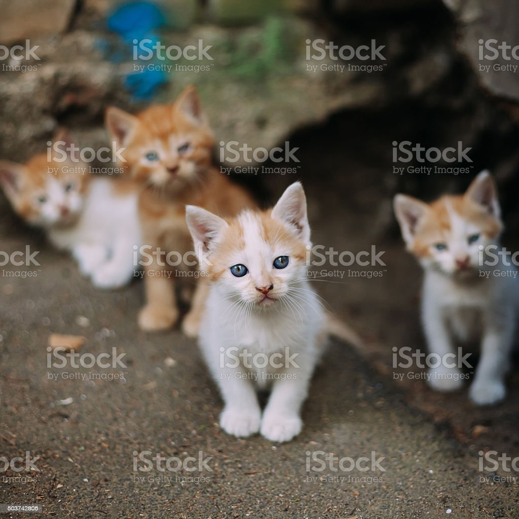 Four Cute Small Stray White And Ginger Kittens stock photo