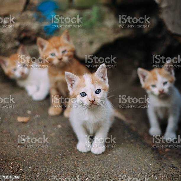 Four cute small stray white and ginger kittens picture id503742806?b=1&k=6&m=503742806&s=612x612&h=wjd74y7ggommrnu0wj0n4pea5tzn 5qcgtsu782jdlm=