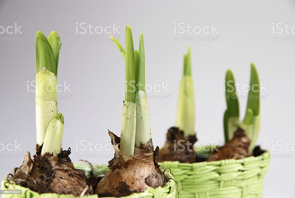 four daffodil flower bulb royalty-free stock photo