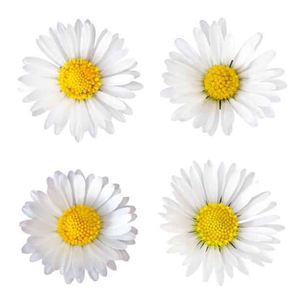 vier daisy bloemen (bellis perennis) geïsoleerd op witte achtergrond - madeliefje stockfoto's en -beelden