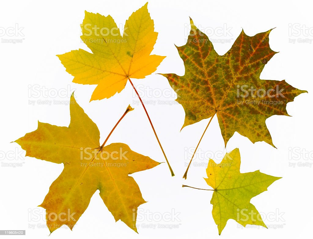 Four Different Autumn Leaves Of Maple Tree Stock Photo Download