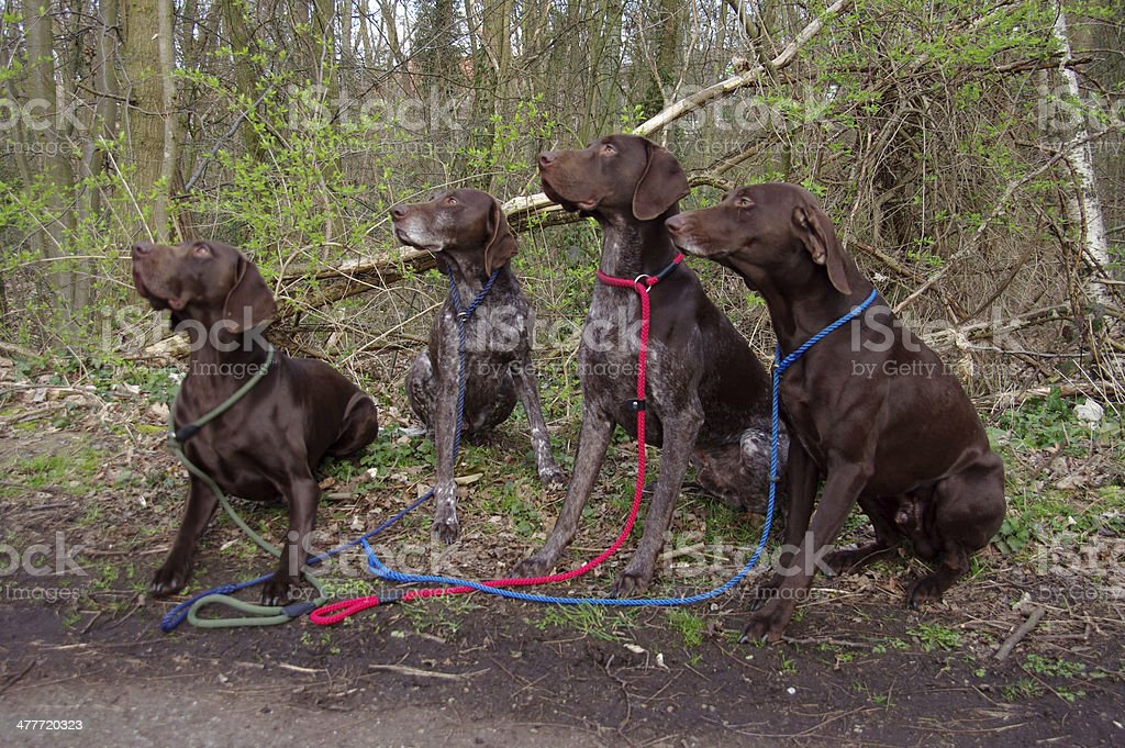 Four disciplined hunting dogs royalty-free stock photo