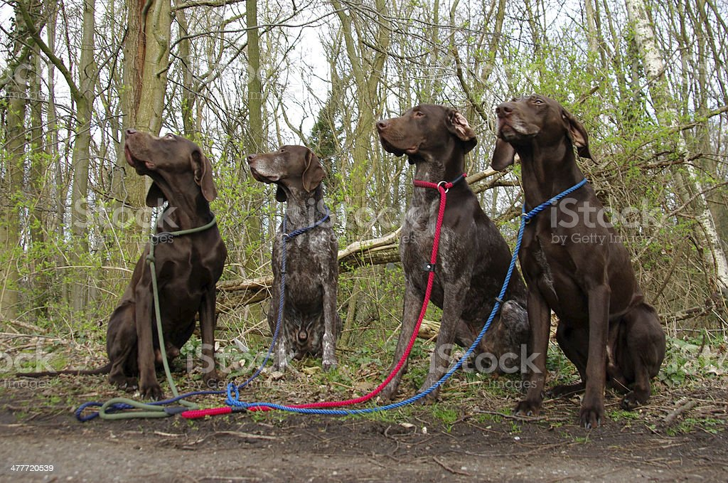 Four disciplined hunting dogs stock photo