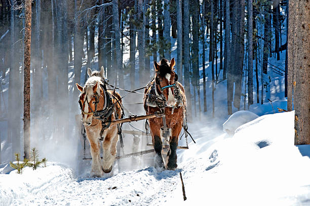 Four Draft Horse Hitch in Woods stock photo