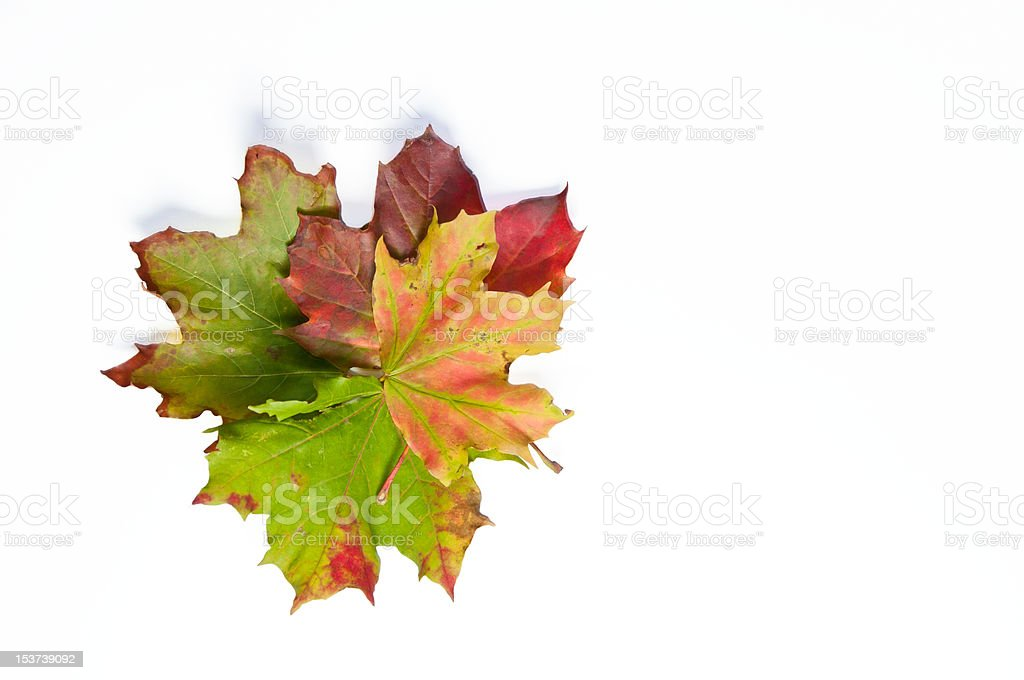 Four dried autumn leaves in different colors stock photo