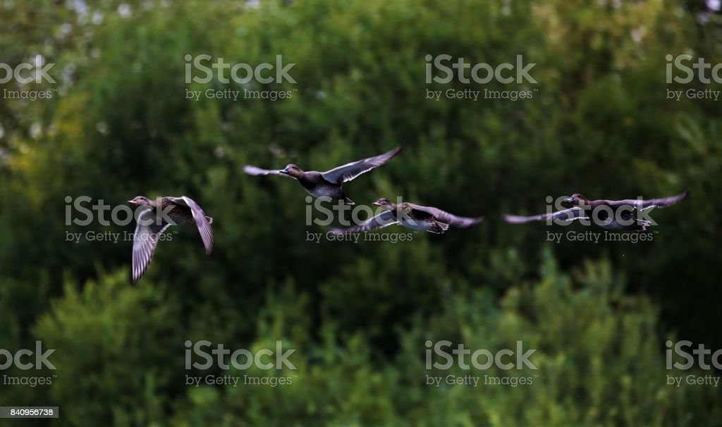 Four Ducks flying stock photo