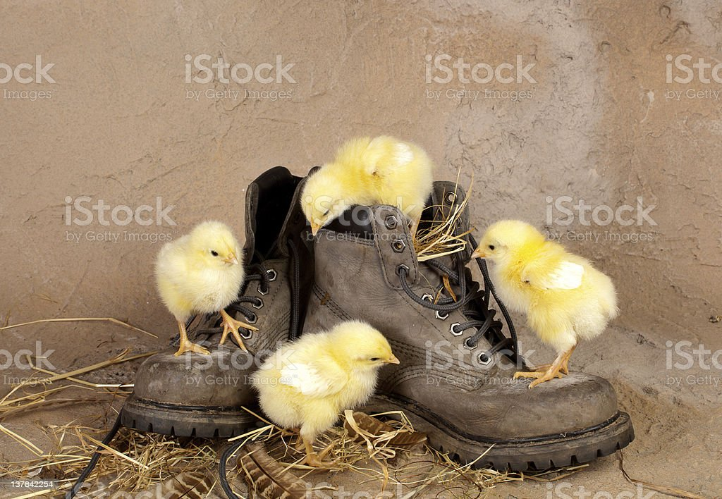 Four easter chicks climbing shoes royalty-free stock photo