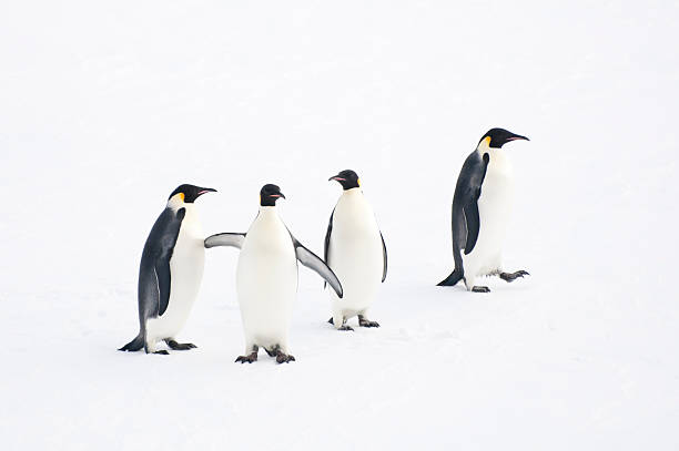 Four Emperor Penguins Four emperor penguins standing/walking on an ice-floe, Weddell Sea, Antarctica. emperor penguin stock pictures, royalty-free photos & images