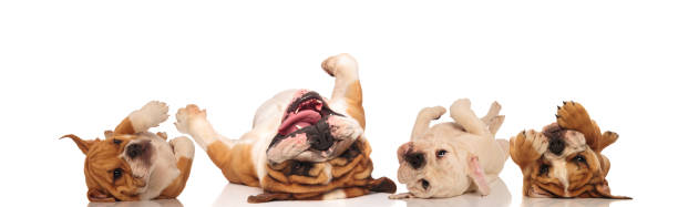 four english bulldogs laying upside down on their back four english bulldogs laying upside down on their back with reflection on white background lying on back stock pictures, royalty-free photos & images