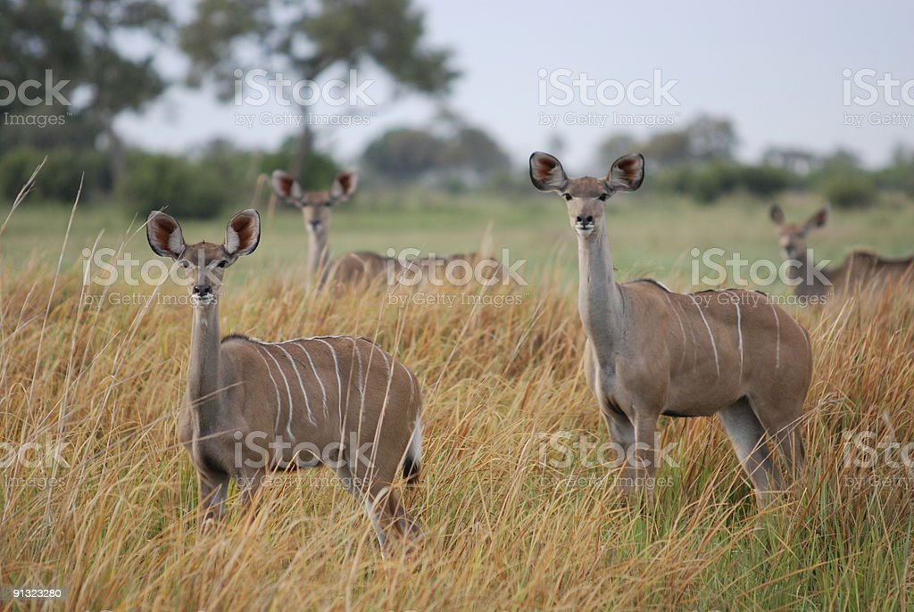 Four female kudus are listening royalty-free stock photo