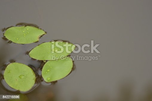 Raindrops on floating water lilies. Photo taken in Santa Rosa County, Florida
