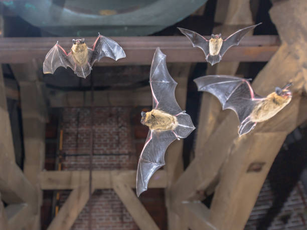 Four Flying pipistrelle bats in church tower stock photo
