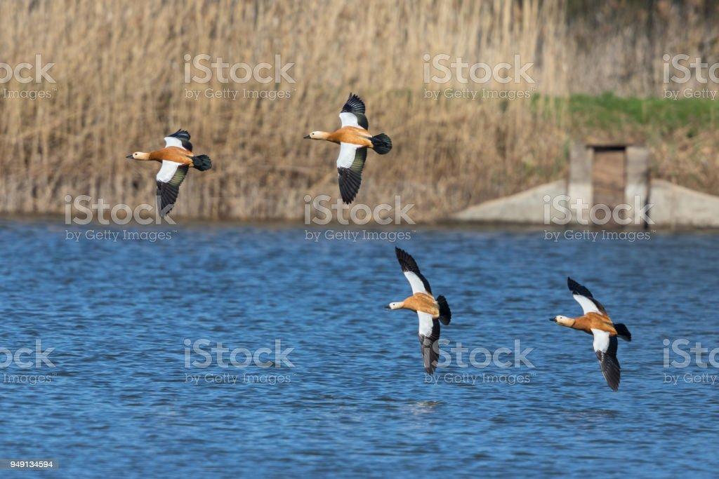 Four flying ruddy shelducks (Tadorna ferruginea) stock photo