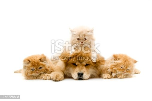 persian cats and chow chow