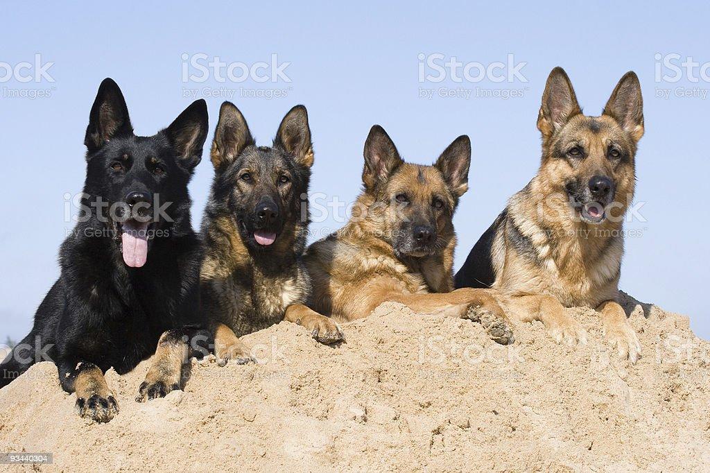 Vier Deutschland Sheepdogs Lizenzfreies stock-foto