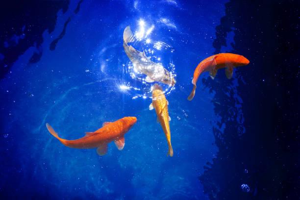 four golden koi carp fishes closeup, dark blue sea background, yellow goldfish swims in pond, mystery night moonlight glow, magic shiny stars, sky galaxy art fantastic illustration, constellation sign - immerse in the stars foto e immagini stock
