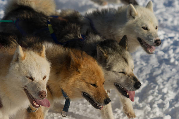 Vier Grönland Hunde – Foto