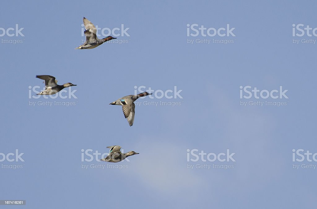 Four Green-Winged Teals Flying in a Cloudy Sky stock photo