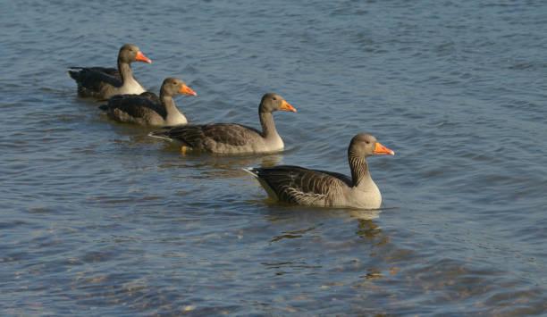 vier Graugänse im Fluß – Foto