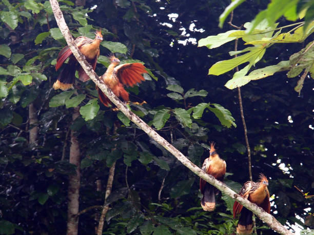 Four Hoatzin birds on tree at the Amazon Rainforest stock photo
