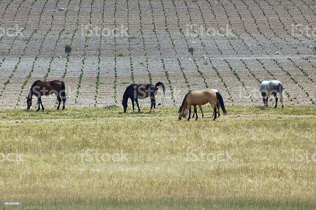 Four horses at pasture near Montpellier (Languedoc-Roussillon, France) royalty-free stock photo