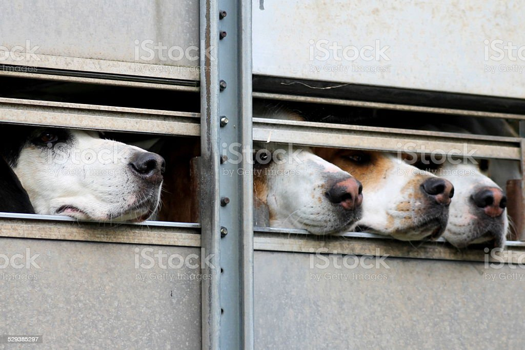 Four Hounds in hound trailer - ready for trail hunting stock photo