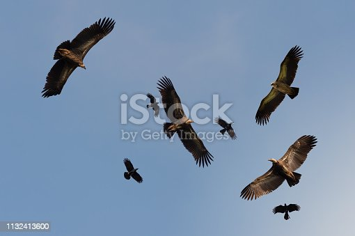 Flock of Himalayan griffon soaring  with fully wingspan while crows chasing in  blue sky  over klong kata dam phuket.