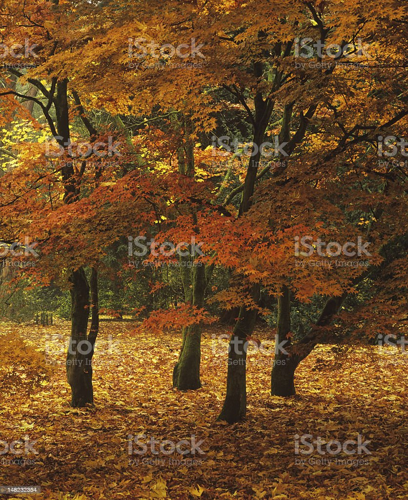Four japanese maples in autumn royalty-free stock photo