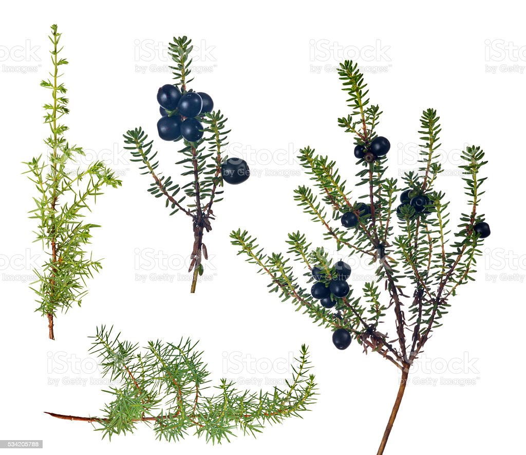 four juniper branches collection on white stock photo