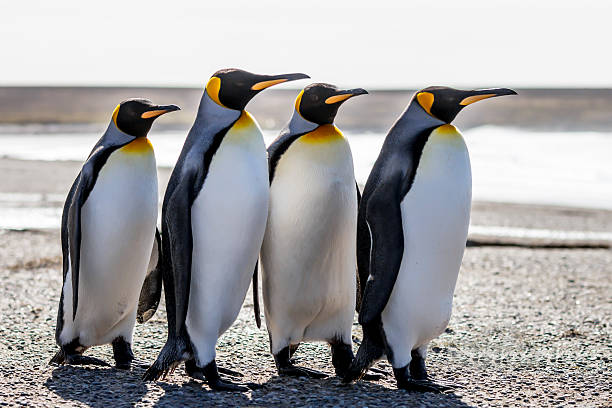 Four King Penguins (Aptenodytes patagonicus) standing together on a beach. stock photo