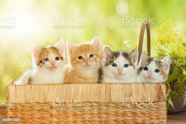 Four kittens in a basket picture id545811260?b=1&k=6&m=545811260&s=612x612&h=fhnqwgmg c0jnh30b41v 4jfqrvi3tvphpd1txg uw4=