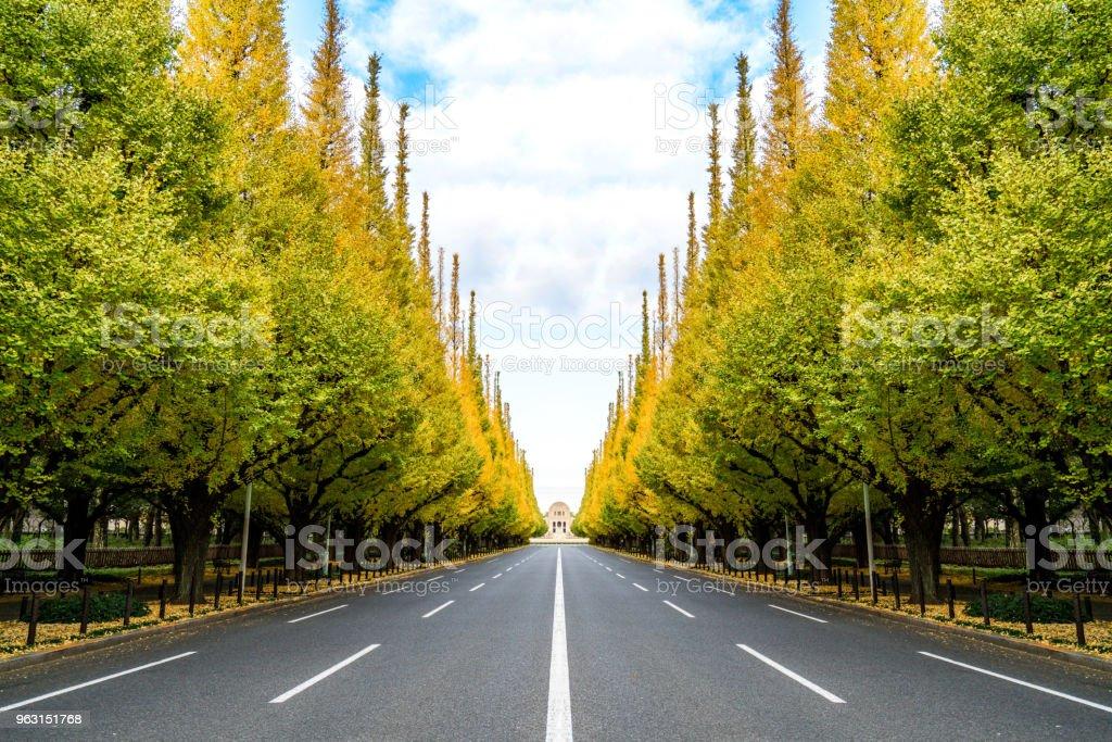 Fyra körfält två sidor av ginkgo stora träd, perspektiv sätt. - Royaltyfri Asien Bildbanksbilder