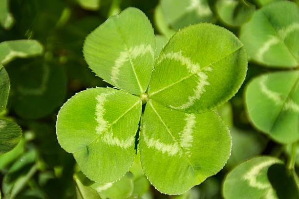 símbolo do trevo de quatro folhas da boa sorte de aspiração pesquisa, descoberta - boa sorte - fotografias e filmes do acervo