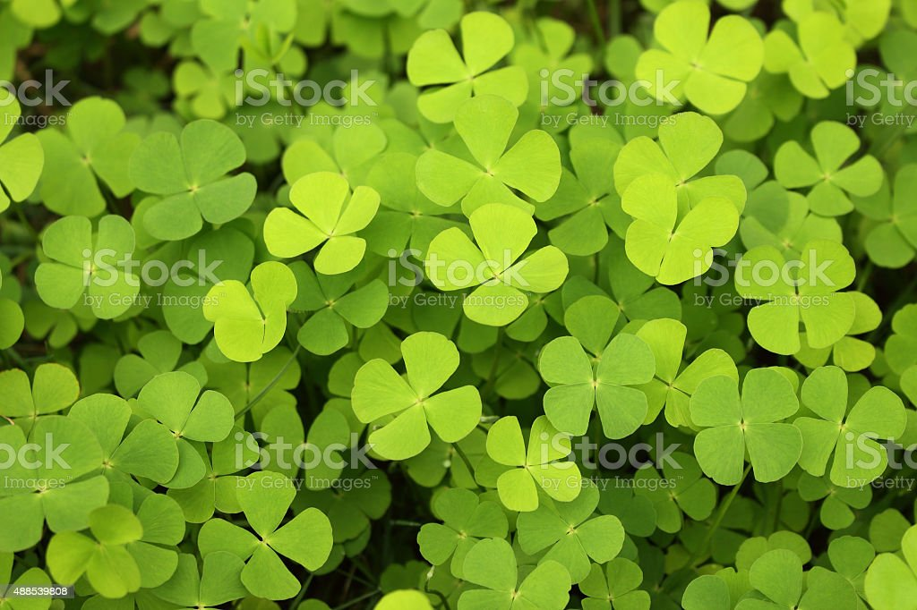 four leaf clover green background stock photo
