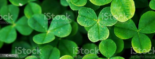 Four leaf clover in green grass picture id1192462201?b=1&k=6&m=1192462201&s=612x612&h=wkt4za0bklizdnqnw27kgnrzrb6mo nuwnlum 2la5q=