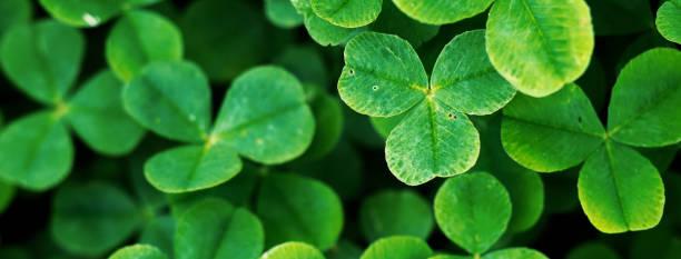 Four leaf clover in green grass picture id1192462201?b=1&k=6&m=1192462201&s=612x612&w=0&h=52hfqn6qseyisqp5iqzusuzuwayuxpg6hgp6fck8eom=